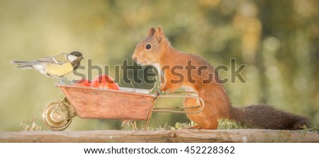 red squirrel standing on wheelbarrow with a titmouse and tomato - stock photo