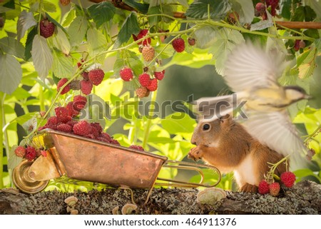 red squirrel  standing with a wheelbarrow with raspberries and blurry titmouse flying in front