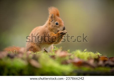 Red squirrel with a dirty nose after foraging in the rain