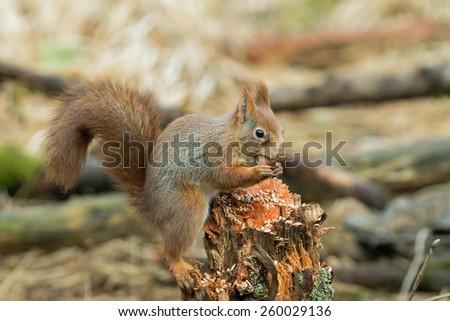 Red Squirrel with Hazel Nut in Norwegian woodland - stock photo