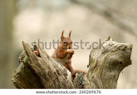 Red Squirrel with hazelnut on Brownsea Island, Dorset - stock photo