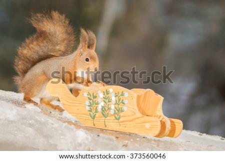 red squirrel with sled on ice  - stock photo