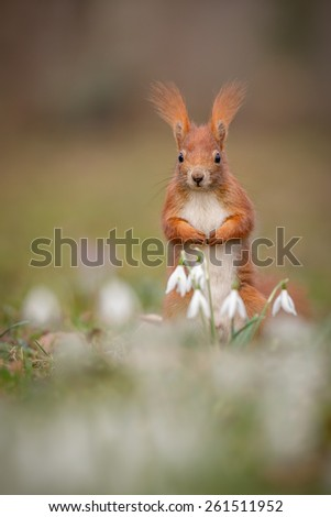 Red squirrel with snow drops in spring - stock photo