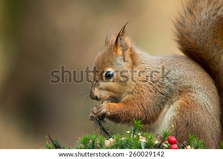 Red Squirrel with wet ears eating hazel nut in Norwegian woodland. - stock photo