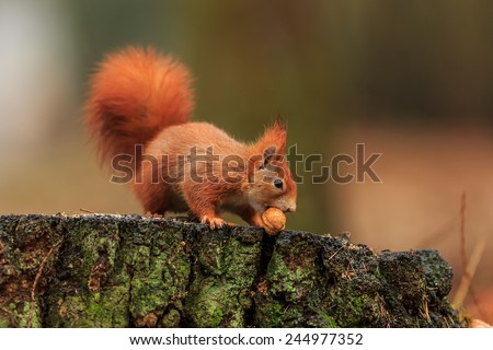 Red squirrel wont nut - stock photo