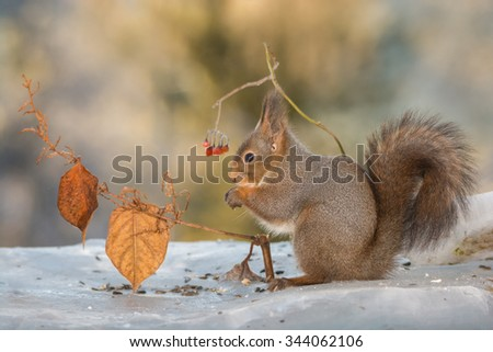red squirrels standing on ice with berries  - stock photo