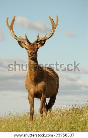 red stag in velvet - stock photo