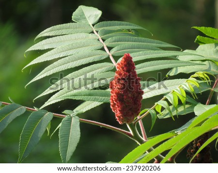 Red staghorn sumac berries on bush or tree - stock photo