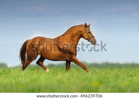 Red stallion trotting in spring meadow against blue sky