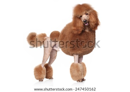 Red Standard Poodle. Portrait on a white background - stock photo