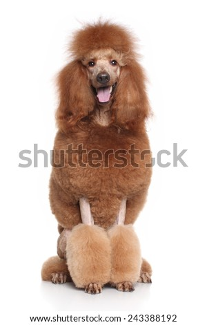 Red Standard Poodle sits on white background - stock photo