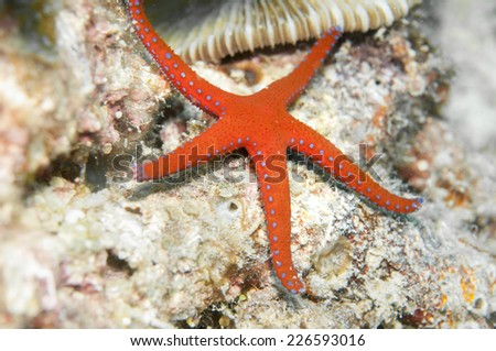 Red starfish with blue spot - stock photo