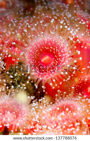 Red strawberry anemones with tentacles fully exposed shows the feeding behavior when the water is rich with plankton and current. - stock photo