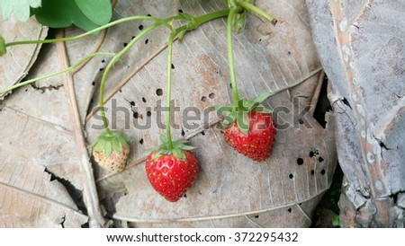 red strawberry hanging on tree  - stock photo