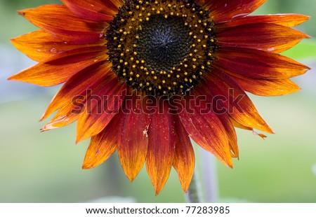 Red Sunflower,Helianthus annuus - stock photo