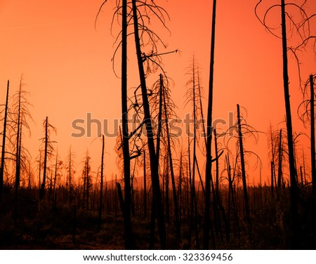 Red Sunset Through The Burnt Trees Of A Forest After A Fire - stock photo