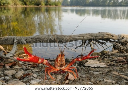 red swamp crawfish (Procambarus clarkii) in its allochthonous habitat. Defense posture - stock photo