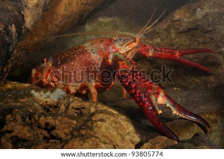 red swamp crawfish (Procambarus clarkii) underwater - stock photo