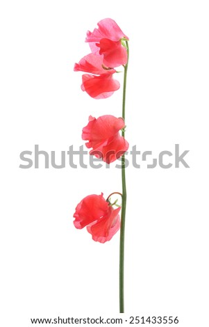 Red sweet pea isolated on white background - stock photo