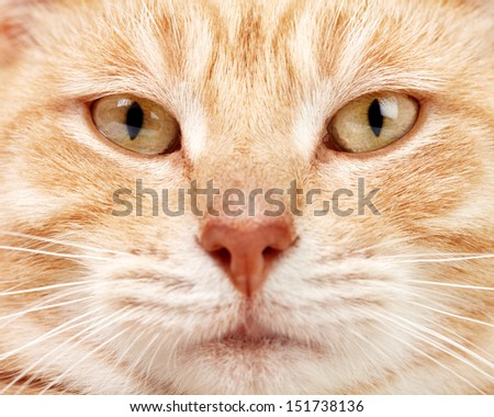 Red tabby cat close up. Ginger domestic kitten. - stock photo
