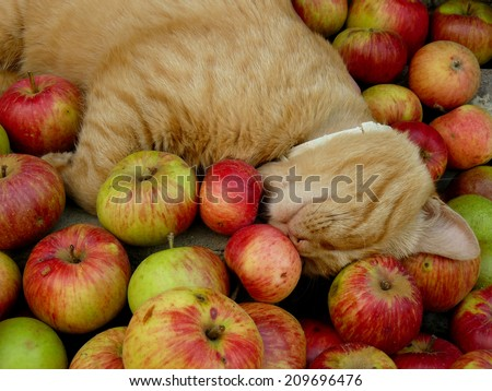 red tabby cat resting among fresh apples - stock photo