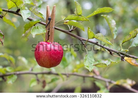 red taesty apple cliped on tree - stock photo