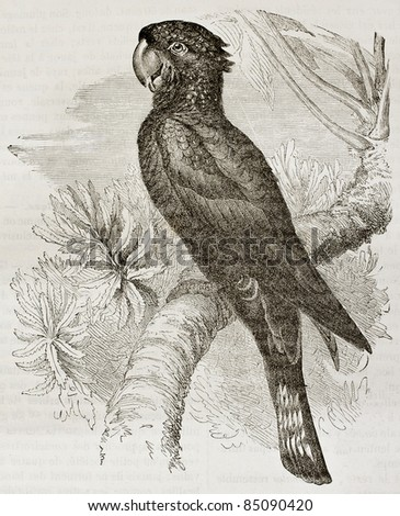 Red-taidel Black Cockatoo old illustration (Calyptorhynchus banksii). Created by Kretschmer and Jahrmargt, published on Merveilles de la Nature, Bailliere et fils, Paris, 1878 - stock photo