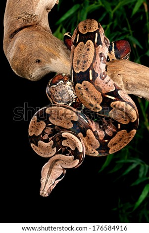 Red Tail Boa (Boa constrictor constrictor). - stock photo