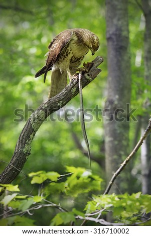 Red tail hawk in tree, with garter snake in its talons, at Case Mountain reserve in Manchester, Connecticut. Scientific name is Buteo jamaicensis. - stock photo