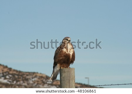 Red-tail hawk perched on stand - stock photo