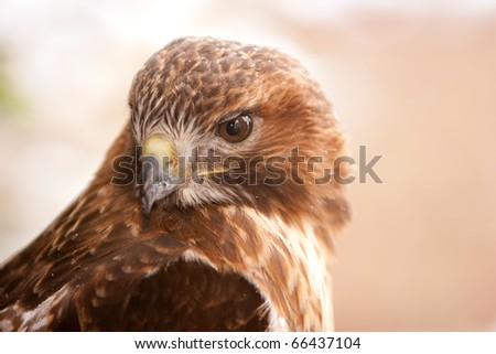 Red Tail Hawk with Snow Flakes On Feathers in Ohio - stock photo