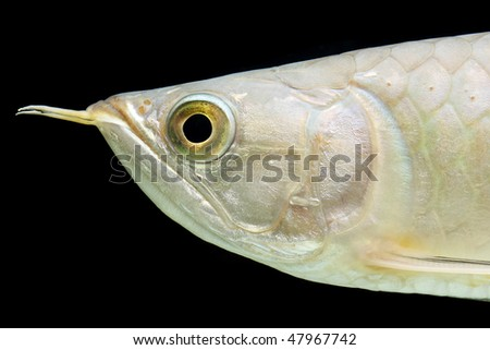 Red-tailed golden arowana (Scleropages aureus) isolated on black background.
