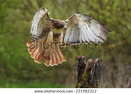 Red-tailed hawk about to land. A magnificent red-tailed hawk prepares to land on a tree stump. - stock photo