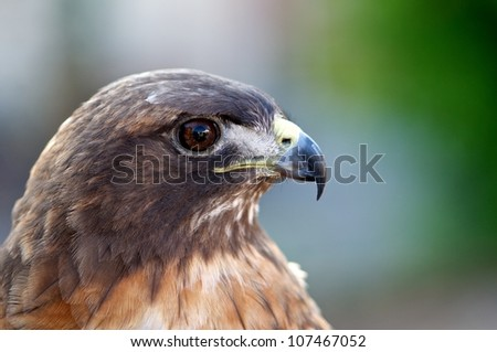 Red-Tailed Hawk (Buteo jamaicensis) - stock photo