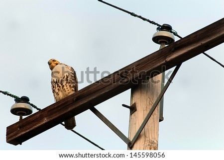 Red-tailed Hawk(Buteo jamaicensis) perched on a telegraph pole  - stock photo