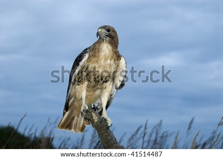 Red Tailed Hawk (Buteo jamaicensis) perches on dead tree limb against a twilight sky.