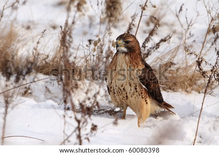 Red-Tailed Hawk in the snow. - stock photo