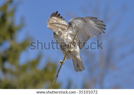Red-tailed Hawk, juvenile, Buteo jamaicensis. Copy space. - stock photo