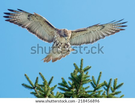 Red-tailed Hawk landing in a tree. - stock photo