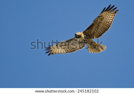 Red-Tailed Hawk Making Eye Contact As It Flies - stock photo