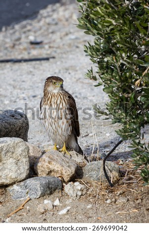 Red tailed hawk on the ground, looking for lunch in the California desert. - stock photo