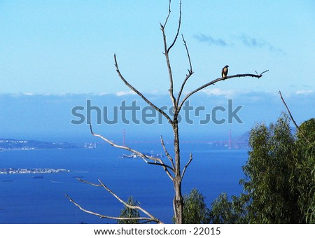 Red-Tailed Hawk perched in a dead tree, with the Golden Gate Bridge and Alcatraz Island in the background. - stock photo