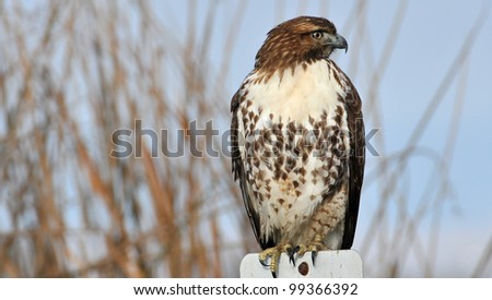 Red-Tailed Hawk perched on a Sign - stock photo