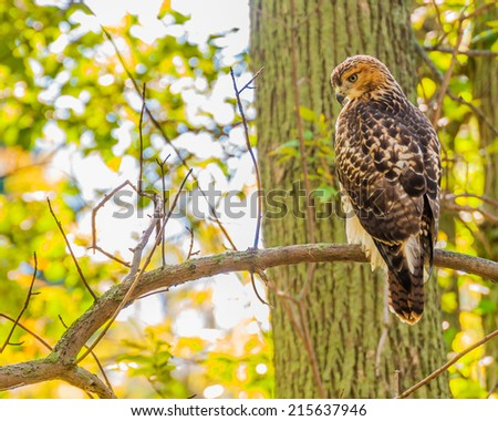 Red-tailed Hawk perched on tree branch. - stock photo