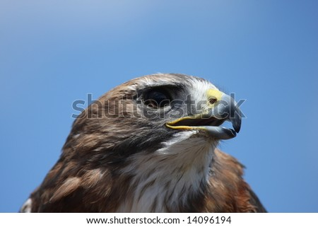 Red Tailed Hawk portrait looking to the right - stock photo