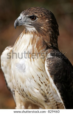 Red Tailed Hawk Profile - stock photo