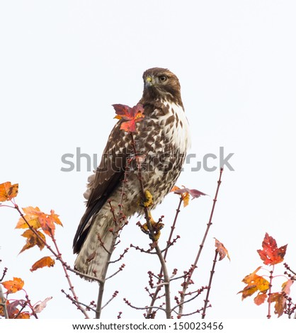 Red Tailed Hawk standing on tree - stock photo