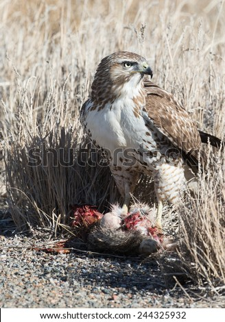 Red Tailed Hawk with Prey - stock photo