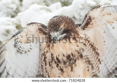 Red-tailed hawk with wings out in a snow storm. The hawk is starring down toward the ground. - stock photo
