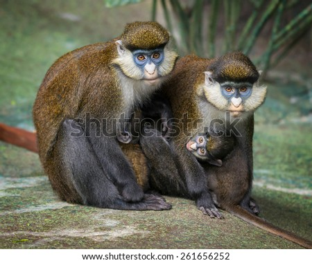 Red-tailed monkeys (Cercopithecus ascanius) with infant - stock photo